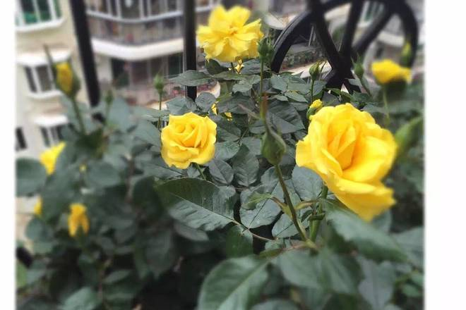 Home Cooking Recipe: One of the pots of roses I have raised