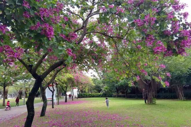 Home Cooking Recipe: There are flowers all year round in Xiamen. This is the Bauhinia blooming in winter. Even in winter, it is full of flowers.